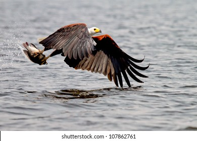 Fish Eagle catching fish