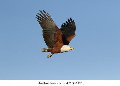 Fish Eagle Flight 2