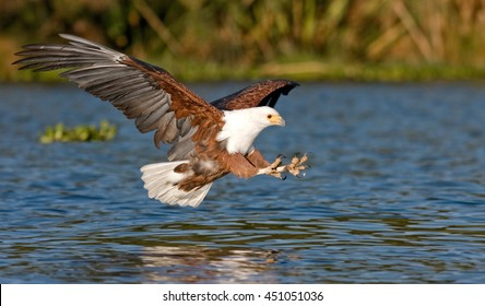 fish eagle flying low over the water of Lake Naivasha and claws stretched out with claws for a moment before the attack on the prey, Kenya