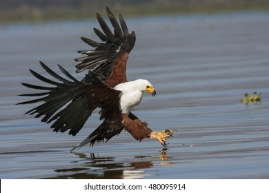 fish eagle at the last moment to attack prey