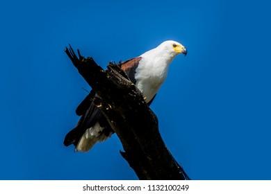 Fish eagle on a tree