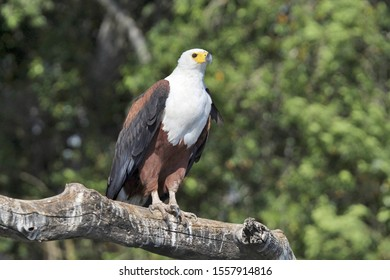 Fish Eagle preparing and taking to flight