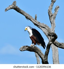 fish eagle sitting on a dead tree and looking for fish,Kruger National park in South Africa