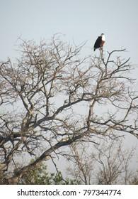 Fish eagle in a tree, Kruger Park