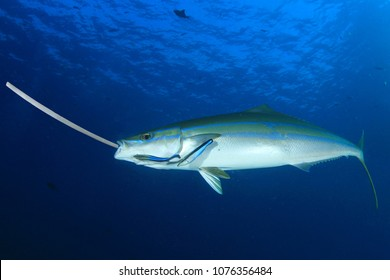 Fish eating plastic straw. Seafood contaminated by plastic pollution in ocean