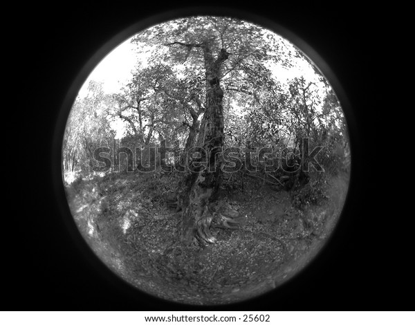 A fish eye lens image of  an oak tree. Image has an iconic quality and look of traditional etching.