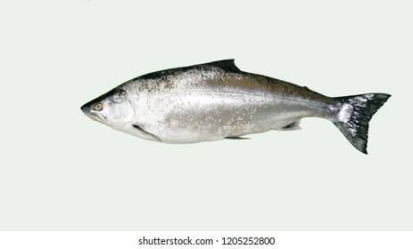 fish of family of the salmon Oncorhynchus masou