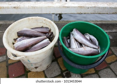 fish to feed the pelicans