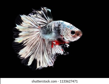 Fish fighting, beautiful fish, colorful fish fighting Siam, on a black background.