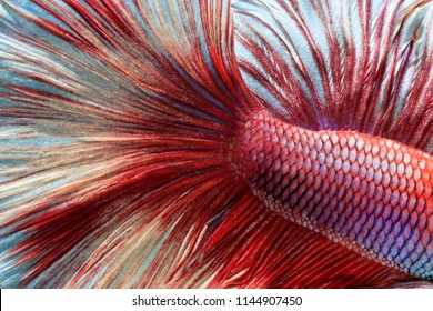Fish fighting, beautiful fish, colorful fish fighting Siam, colorful tail, prominent action, good posture.