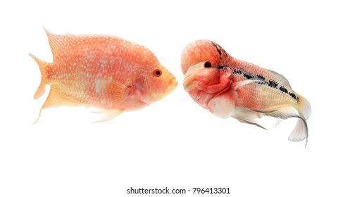 Fish Flowerhorn red