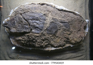 Fish fossil. The evolution of fish began about 530 million years ago at thailand