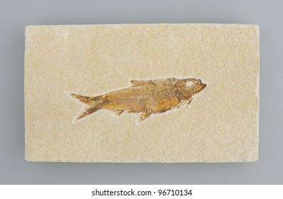 Fish fossil isolated on grey background.