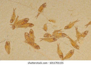 "fish fossil (Knightia eocenia) ""mortality plate"", Eocene Epoch, Green River Formation, Kemmerer, Wyoming"