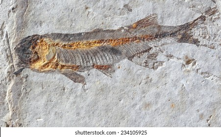 fish fossil on stone on stone surface background, Fossil of a prehistoric fish enclosed in stone rock
