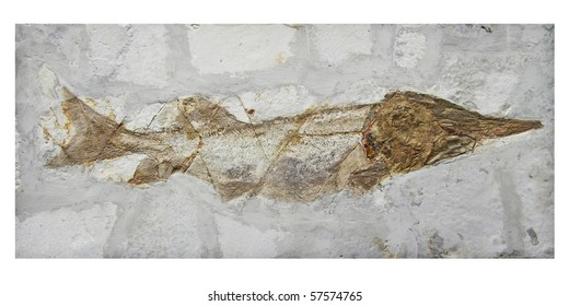 the fish fossil is original white sturgeon aged millions of years in liaoning ,china