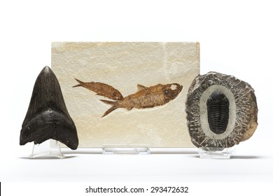 Fish fossil, trilobites and megaladon tooth belonging to a fossils collection