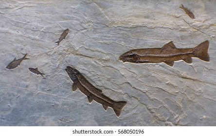 Fish fossils. A school of 2 Notogoneus and 4 Knightia in a mass-mortality layer from the Green River Formation, Wyoming, USA estimated to be fifty million years old.