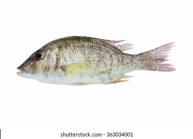 fish fresh,malabar snapper fish,scarlet sea perch fish isolate on white background /lutjanus malabaricus fish