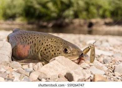 Fish goldilocks fishing