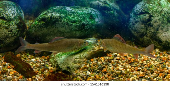 fish Grayling (Thymallus thymallus) close up in an aquarium