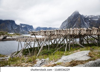 fish hanging for drying to become stockfish on lofoten islands, norway
