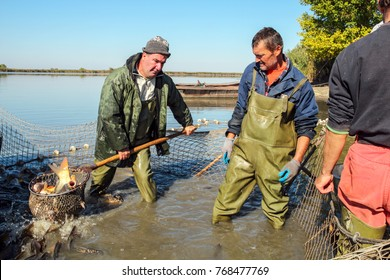 Fish Harvest - Fisherman Retrieves Fishes With Landing Net.  A fishermen scoops up fish from a net.  Fishing Industry.