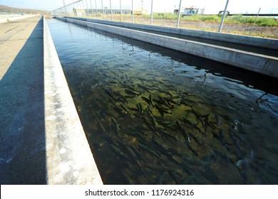 Fish hatchery raceway with rainbow trout, Oncorhynchus mykiss