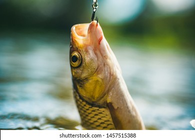 Fish head and fishing hook. River grayling on the hook. Rainbow trout on a hook. Fishing in river
