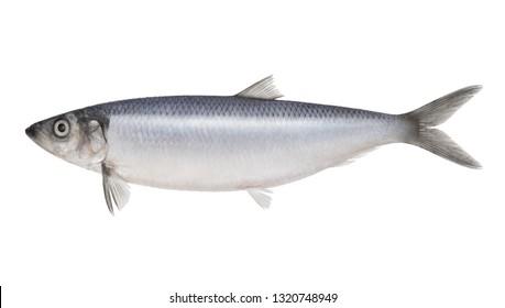 Fish herring isolated on white background