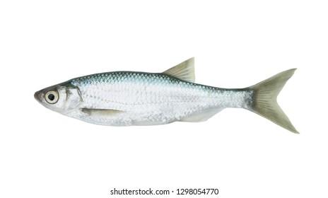 Fish isolated on white background