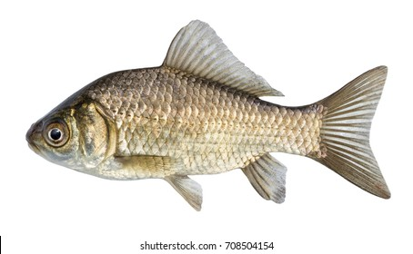 Fish isolated, river crucian carp with scales and fins