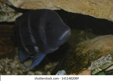 The fish Jack Dempsey cichlids belongs to the cichlid category of fish. It has stern facial expressions and a hostile nature, which is why it is named after the aggressive boxer Jack Dempsey