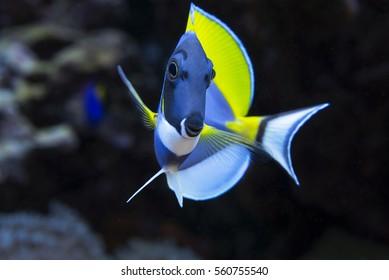 Le poisson est une sorte de cichlidés nageant dans l'eau