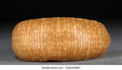 Fish leech (Hirudinea, Annelida) (dorsal view)