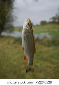 fish (leuciscus idus ) on fishing-rodon river background