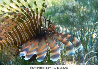 Fish lionfish in algae at the bottom