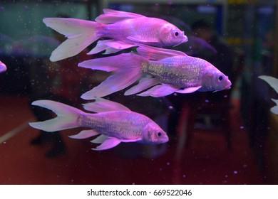 fish Macneill's Assessor Basslet