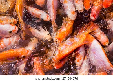 fish in many shades of orange densely packed in a body of water