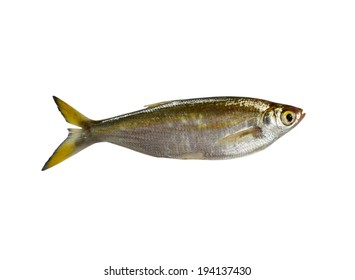 fish Minnow isolated on white background