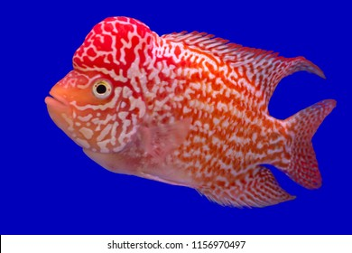 Fish name 's  Flowerhorn Cichlid on blue screen