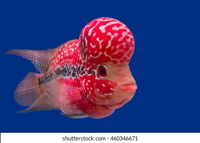 Fish name' s Flowerhorn Cichlid