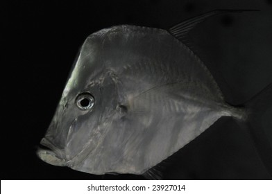 Fish named Lookdown