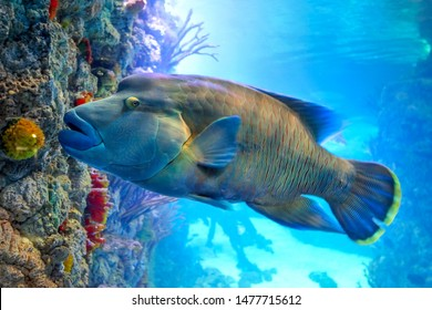 Fish Napoleon Wrasse (Cheilinus undulatus) in solar patches of light on a coral reef
