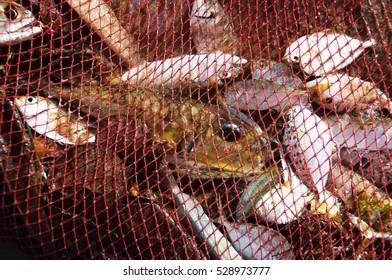 Fish nets full of catch