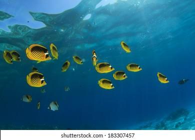 Fish in Ocean: Red Sea Raccoon Butterflyfish