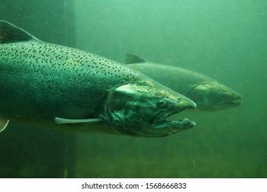Fish on their way to spawning, view from Ballard Locks in Seattle. The Chinook salmon (Oncorhynchus tshawytscha) also called king salmon.