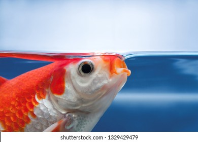Fish with open mouth close view, Eating food or feeding aquarium fishes. A red fish gasping air, suffering from lack of oxygen in fishtank