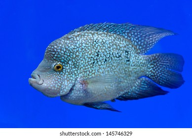 Fish is a photographed in the blue water