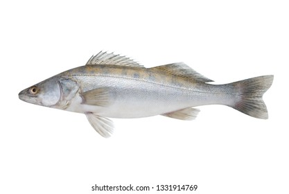 Fish pike perch isolated on white background